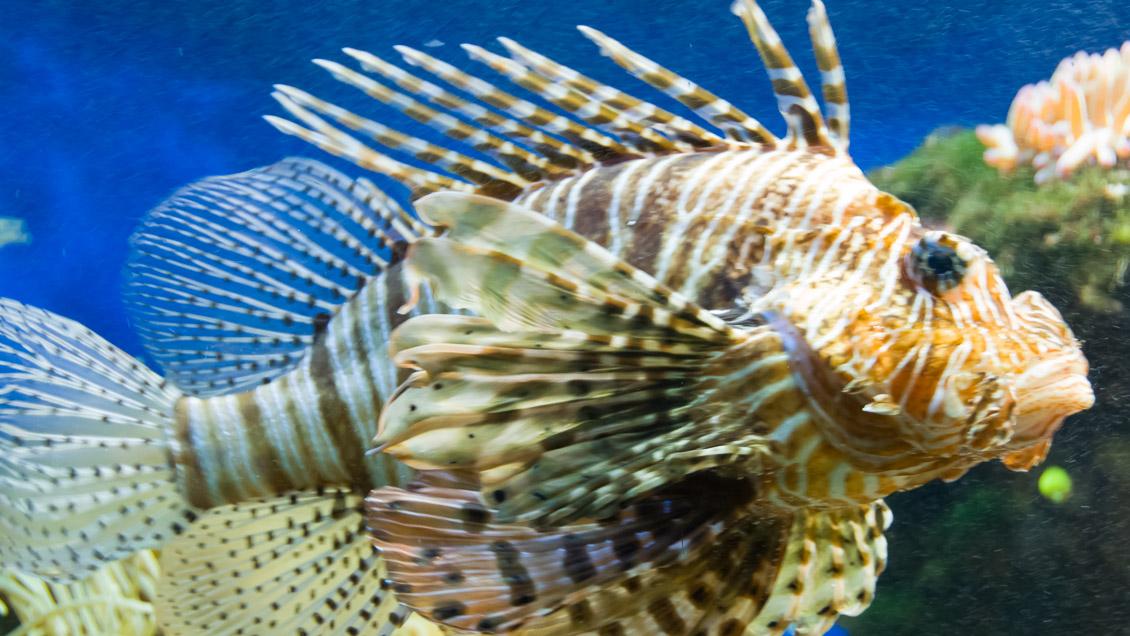 Monaco Ozeanografisches Institut Rotfeuerfisch