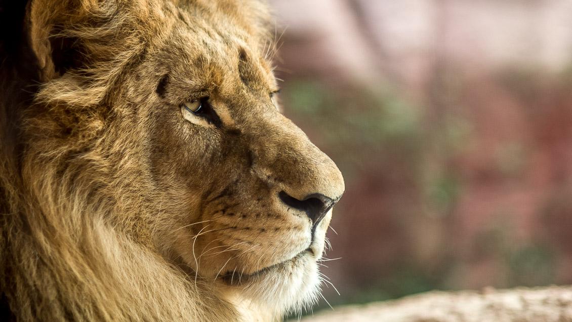 Zoo Hannover Löwen
