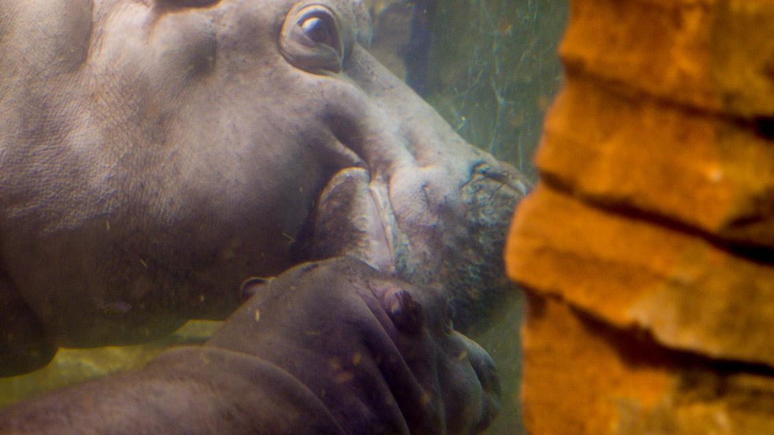 Zoo Hannover Nilpferd