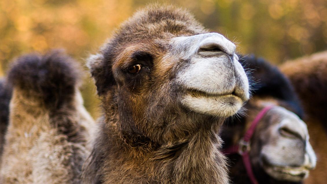 Zoo Hannover Kamel