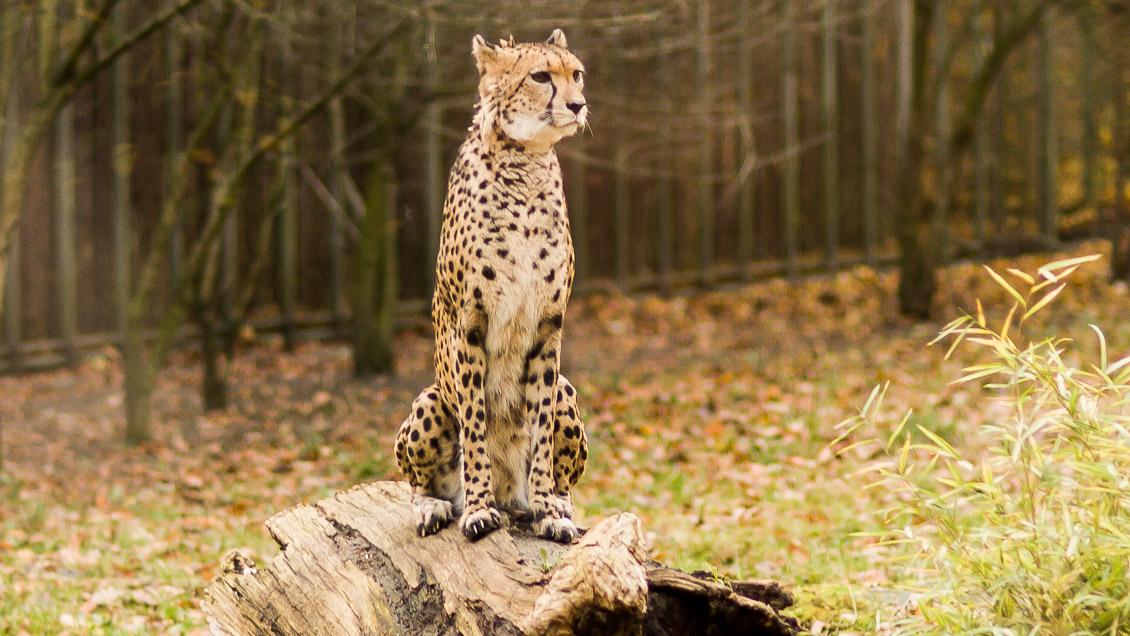 Zoo Hannover Gepard
