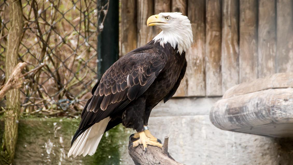 Zoo Hannover Adler