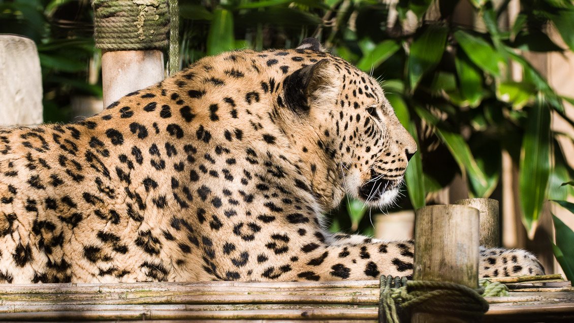 Zoo Hannover Leopard
