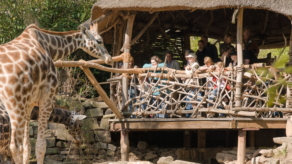 Zoo Hannover Giraffe