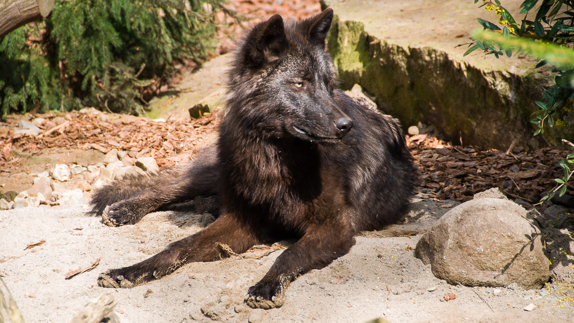 Zoo Hannover Affe Wolf