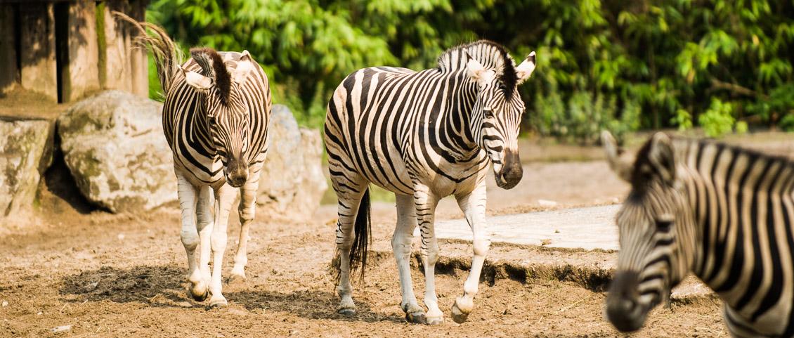 Zoo Duisburg Zebra