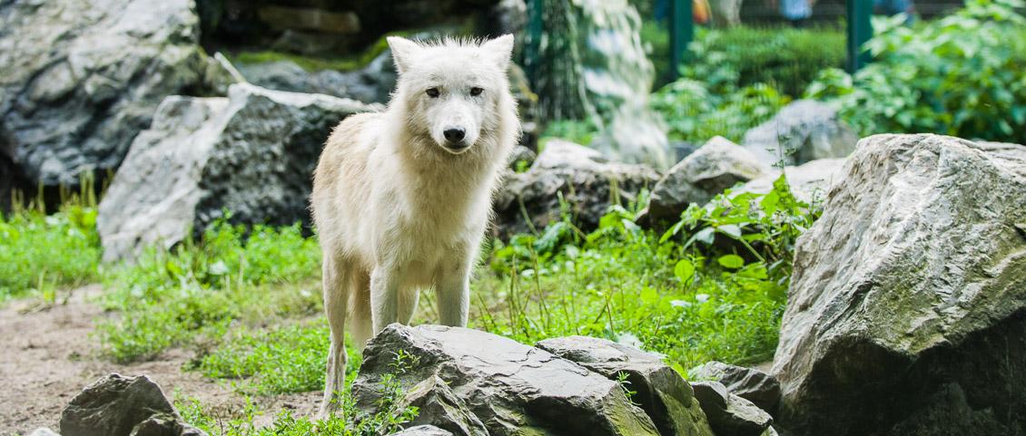 Zoo Duisburg Wolf