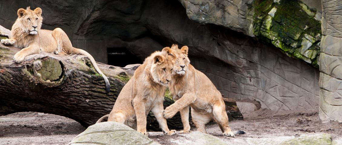 Tierpark Hagenbeck Löwen
