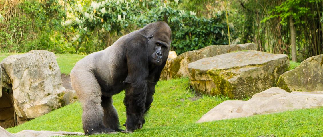 Zoo Hannover Gorilla