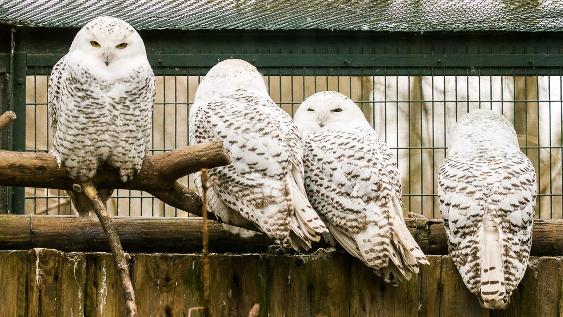Zoo Hannover Schneeeule