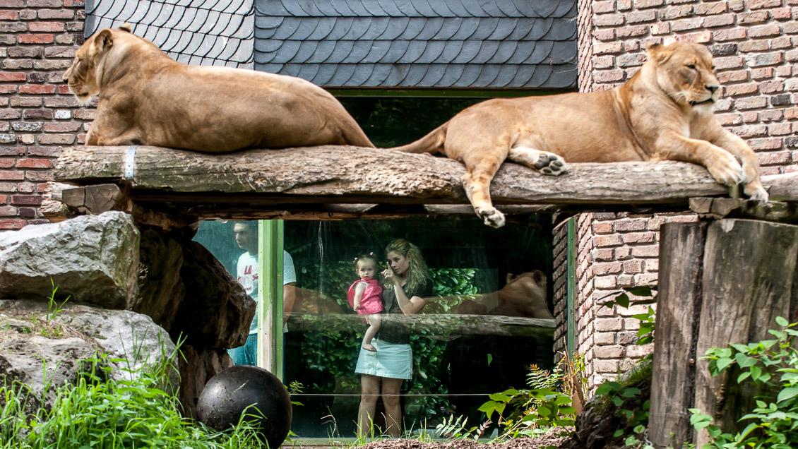 Löwengehege Zoo Duisburg