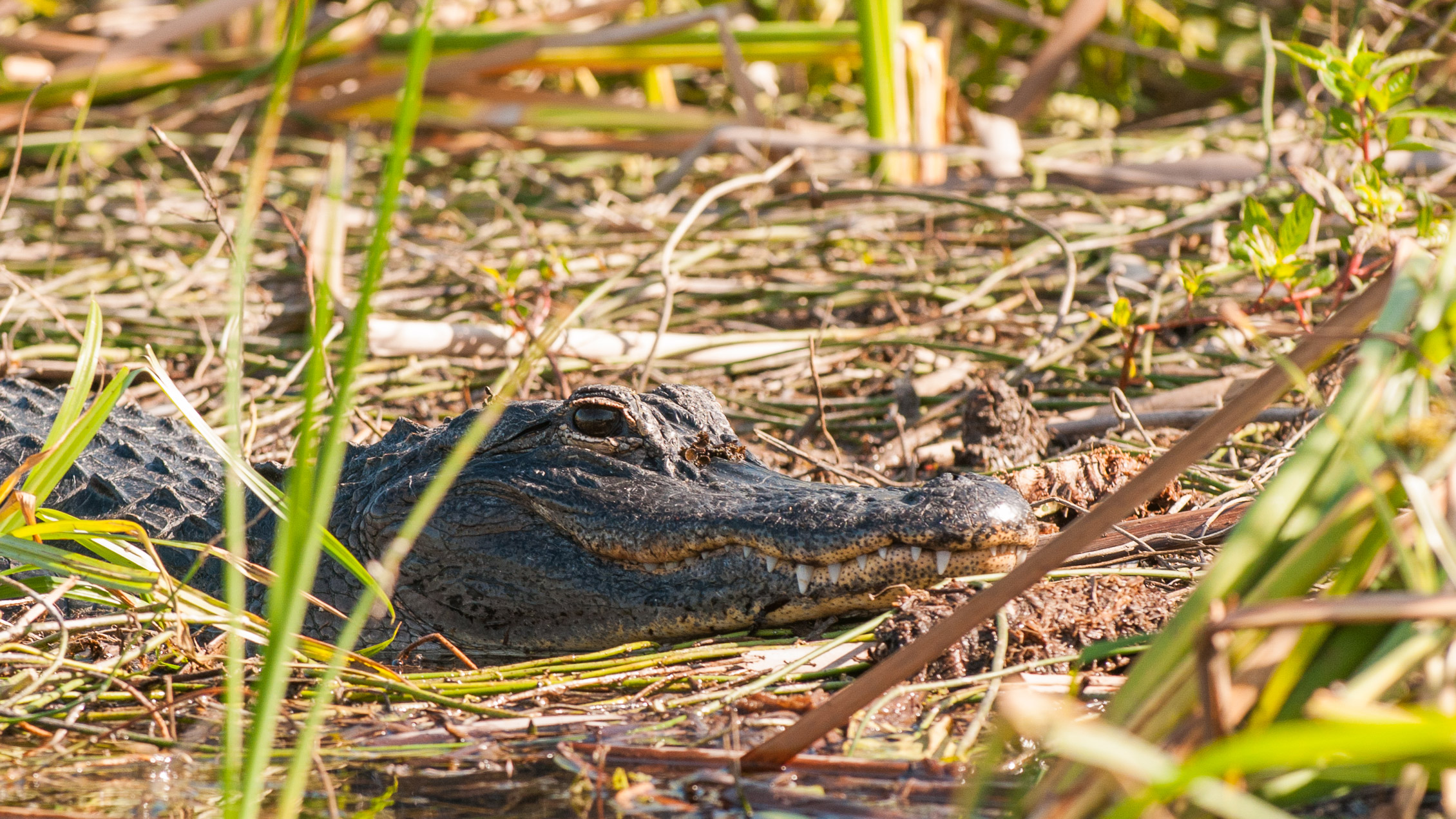 Everglades Florida Alligator